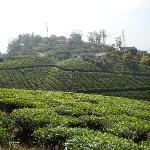 Tea Plantation near Royal Mist