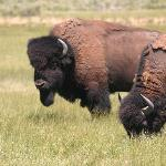 A herd of 2,500 bison is run on the ranch