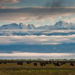 Bison grazing in the ranch meadows