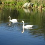 Swans in the pond!