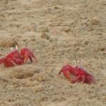 The crabs look like flowers spread on the beach