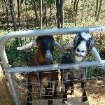 Meet Misty & Max the Nubian Goats
