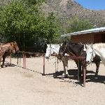 Horses at the corral waiting to be taken out on trail