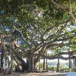 The old banyan tree