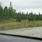 2 bulls and a cow on the road near the lodge