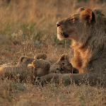 The Kalahari black maned lion