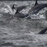 Dolphins in Socotra