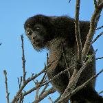 one of the howler monkey we saw up close