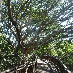 banyan tree walk