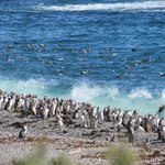 Magellenic Penguins at Punta Tombo