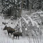 Moose crossing frozen Chena River
