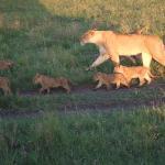ライオンの親子の行進