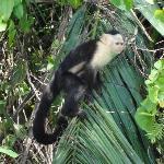 Mono Capachino en la isla de los Monos