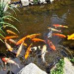 Koi Pond at Silver Pines Lodge