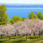 Cherry blossoms in Traverse City