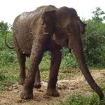 Elephant at Udawalawa National Park