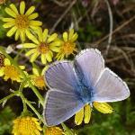 Bluenose Beauty
