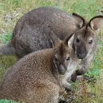 Wallabies just a couple of metres from the Lodge