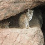 Cats at the desert museum
