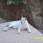 PV Zoo (actually at Mismaloya) white tiger