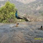 I am the national bird of India