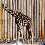 The Only Giraffe