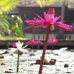Waterlilies in the gardens