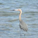 Reddish egret - he ate several ladyfish we fed to him!