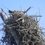 Osprey nest near cemetary trail