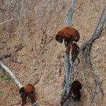 Howler Monkeys at clay lick