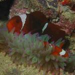 special anemone and clownfish