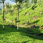 Plantation de thé_Munnar
