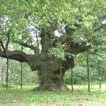 Sherwood Forest Major Oak - legendary home of Rogin Hood