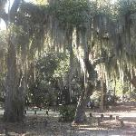 Beautiful old trees covered in Spanish-moss