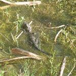 Gators in the pond