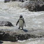 Penguin after a swim in the ocean