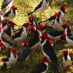 cardinals in the garden