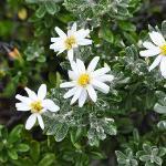 Patagonian flowers