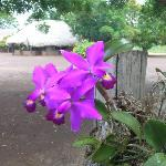 Orchids at Karanambu