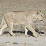 A Lion just a few feet away on Safri