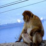 Gibraltar monkey enjoying the view
