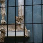lion female