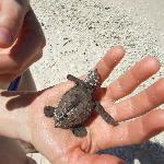 les bébés tortues de grande soeur...
