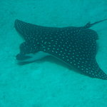 Large Spotted Eagle Ray Poses for Us