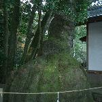 樹齢700年のクスノキ