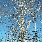 view the sycamore tree that witnessed the battle of Gettysburg