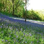 Bluebell woods in May