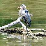 The Grand River is Abundant in Wildlife