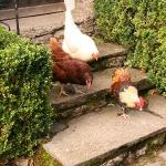 The hens at our backdoor