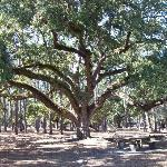 A huge goat tree at the preserve